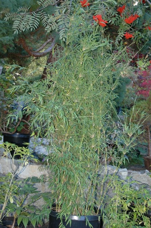 Bamboovictoria Ca Clumping Bamboo