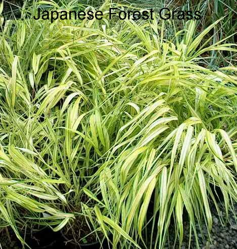 Ornamental grasses a l peninsula flowers nursery for Japanese grass