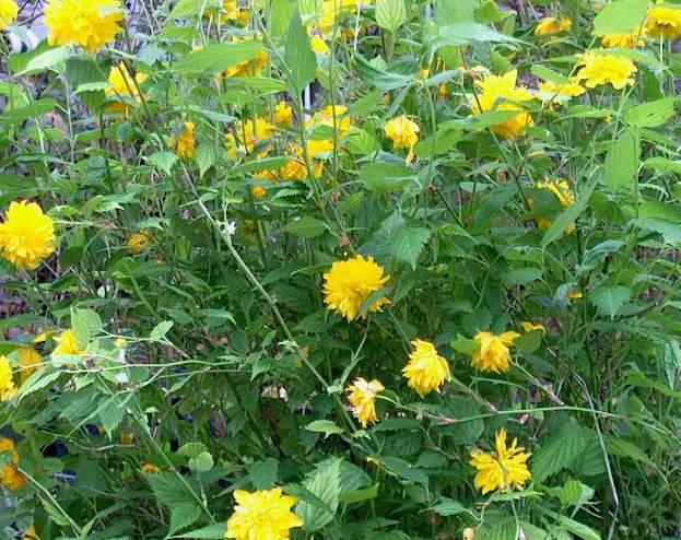 Shrubs j p peninsula flowers nursery for Kerria japonica
